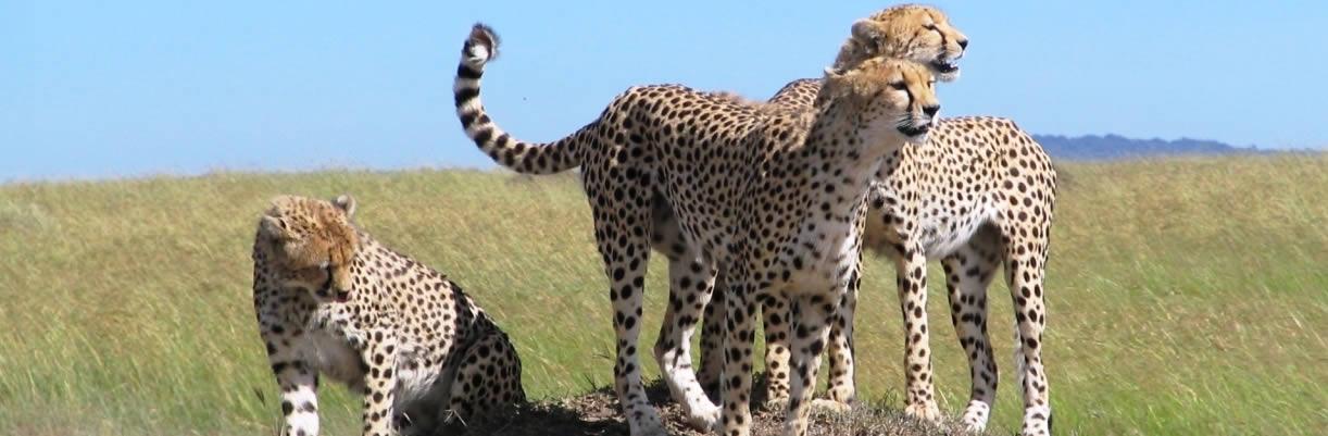 mara-cheetah