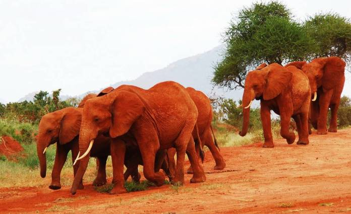 tsavo-elephants
